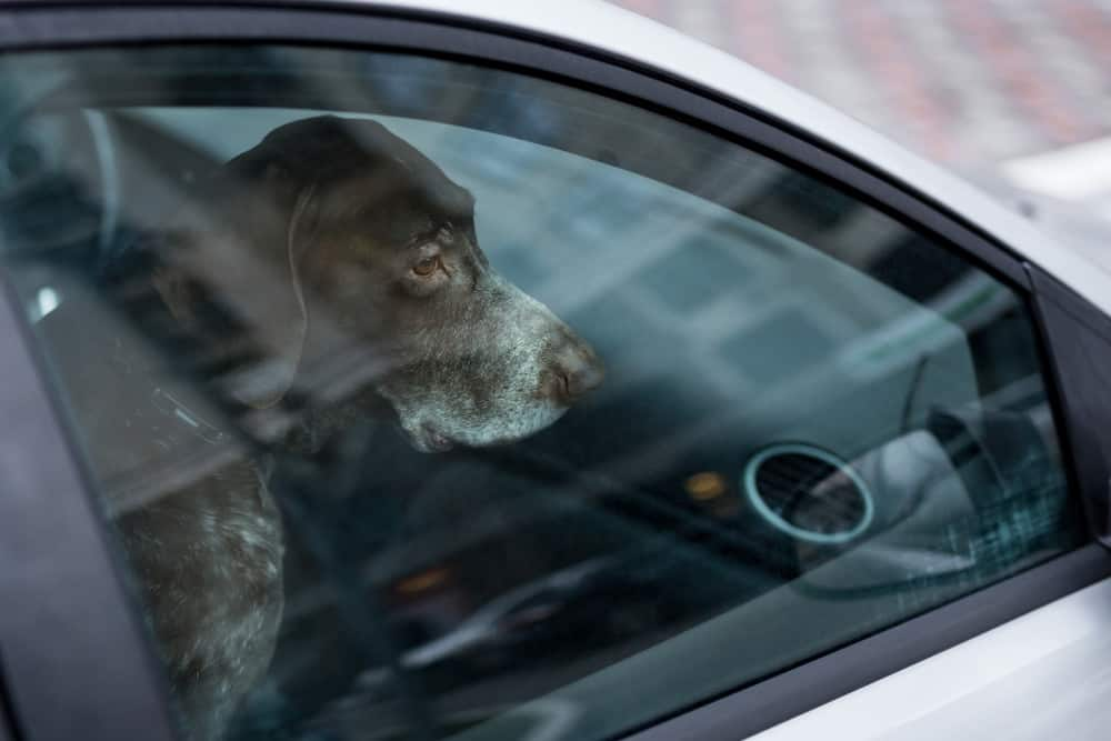 nyc dog in car law