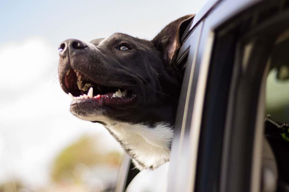 nyc uber with dog